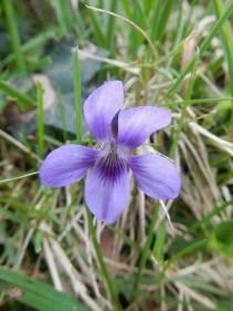 A single Violet