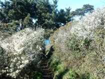 Frothy Blackthorn flowers along the path