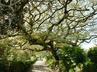 Magnificent Oak tree near start of the walk