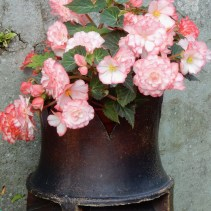 Begonia in an old chimney pot
