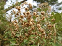 Seed heads of Olearia Macradonta