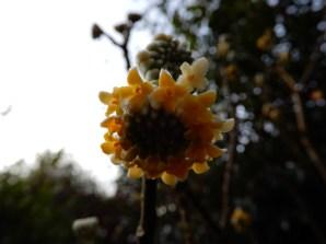 Edgeworthia Chrysantha in the Winter Garden