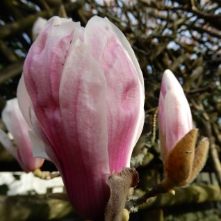 One emerging blossom