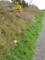 Daffodil and Gorse along the lane
