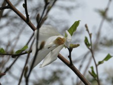 Magnolia along the last lane towards home