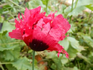 Self sown Poppy in the veg garden