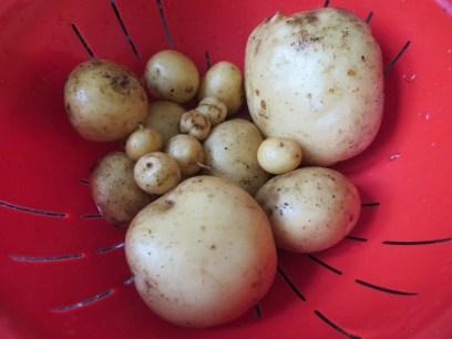 Newly dug potatoes