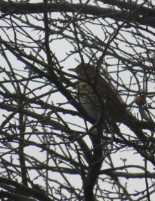 Thrush, one of a pair