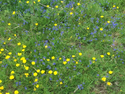 Buttercups and Speedwell