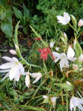 Hesperantha, Pink Princess and a red one