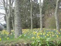 March 2012 - Daffodils in Trelissick Gardens