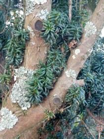 Lichen on a Yew tree