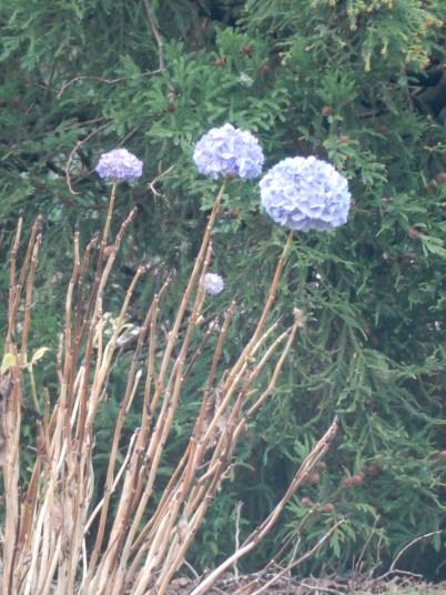 Hydrangea flowers from last season