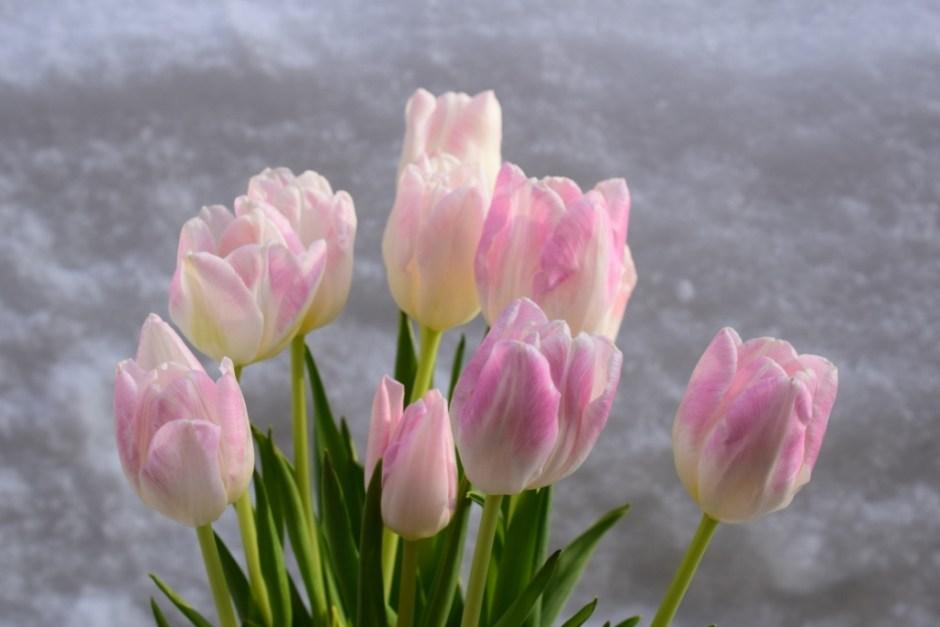 Tulipes dans la neige