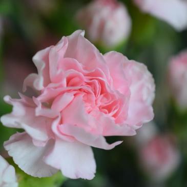 Le défi du lundi: octobre rose