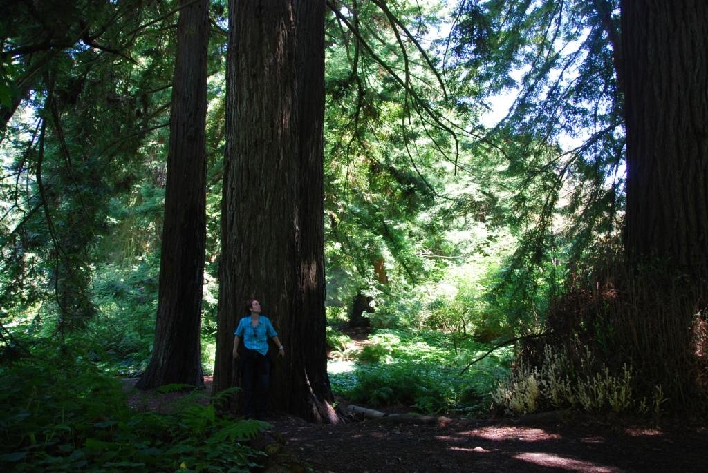Séquoia géant Californie 2013
