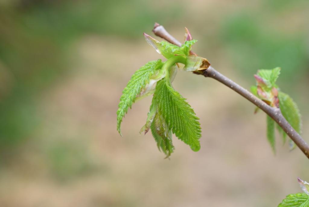 Jeunes feuilles bourgeon printemps