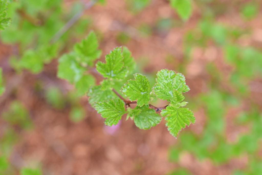 Nouvelles feuilles de physocarpe