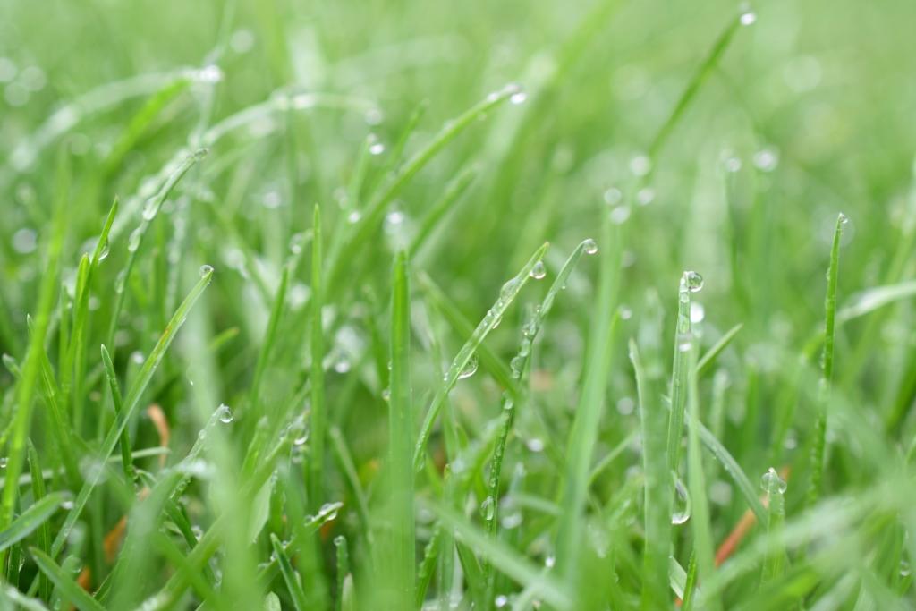 Brins d'herbe verte et gouttelettes de pluie
