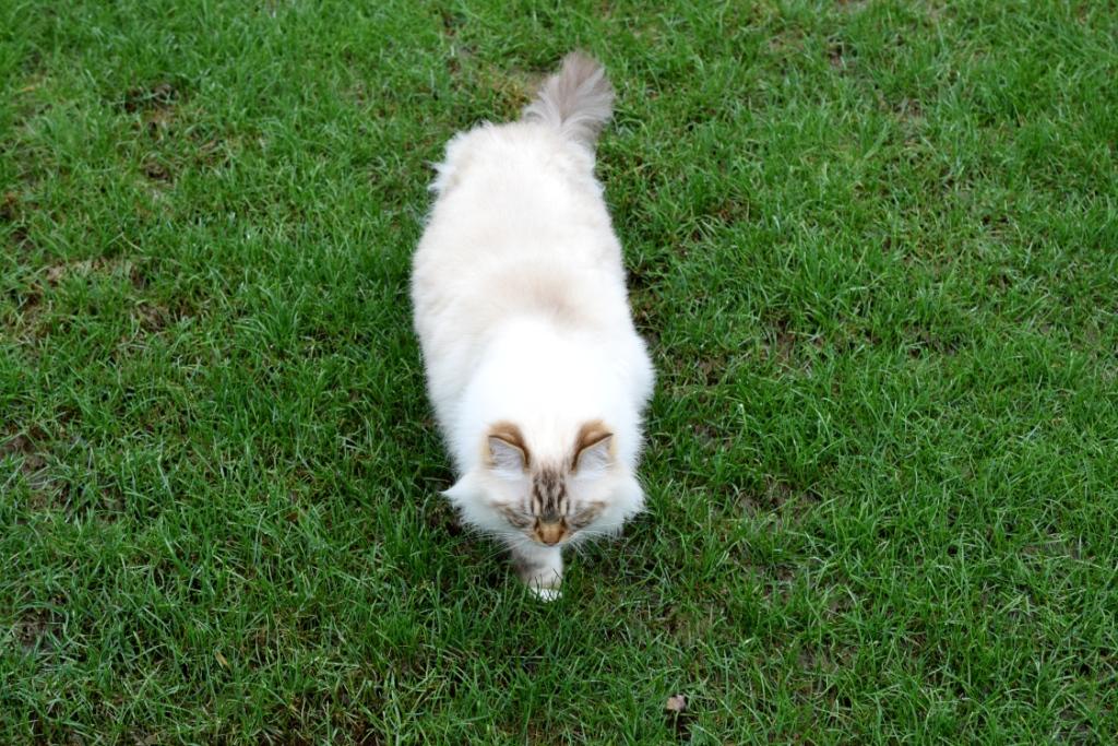 Ragdoll dans l'herbe verte
