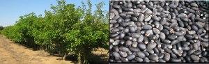 Plantação e Sementes Pinhão-Manso - Sementes com 30-37% de Oleo
