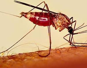 Mosquito Transmissor de Malária