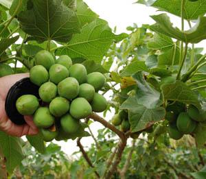 Frutos-Sementes de Pinhão-Manso (Jatropha curcas) com 30% a 37% de Óleo