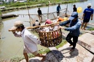 Pangasius Sendo Transportando em Fazendas no Delta do Mekong