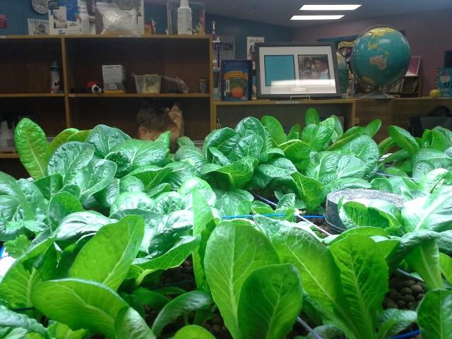 Aquabioponics - Alfaces Orgânicas Cultivadas Dentro de uma Biblioteca em Escola nos EUA
