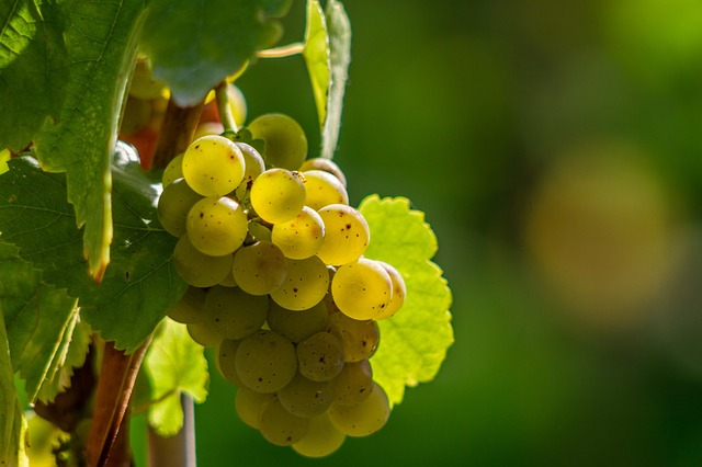 Wine grapes on Journey's End wine farm