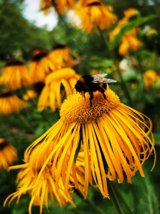 bumblebee on a yellow flower