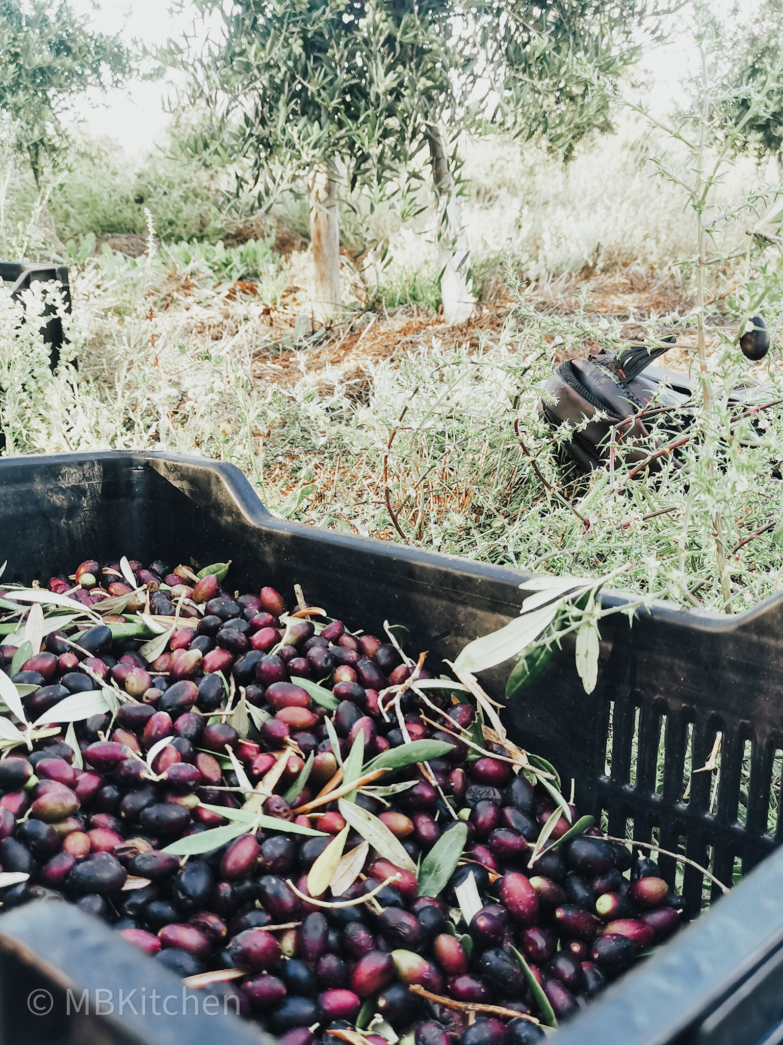 willow creek olives being harvested