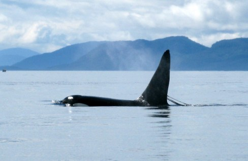 Killer whale near Ketchikan
