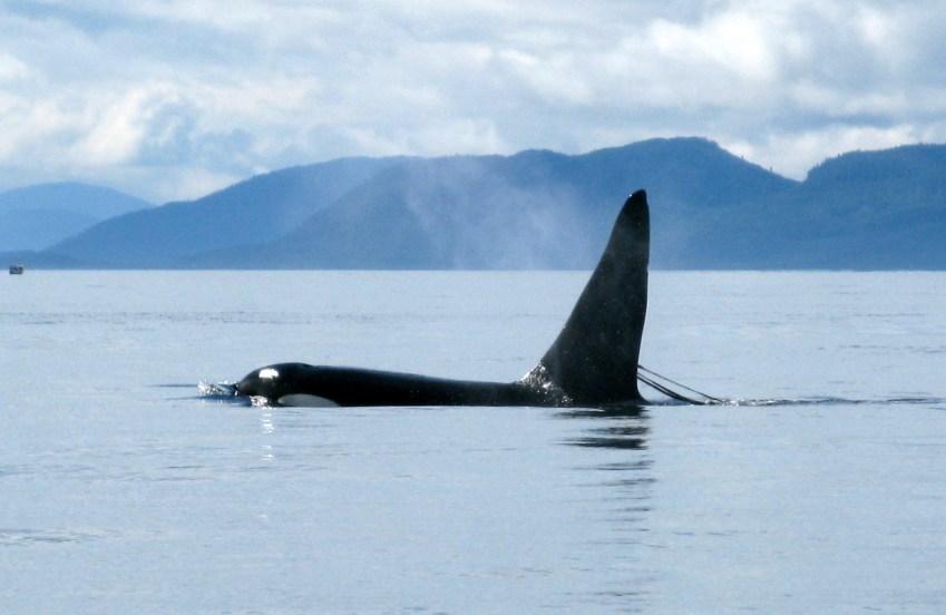 Killer whale near Ketchikan