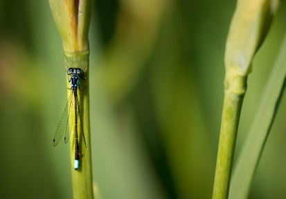 dragonfly on a green stem