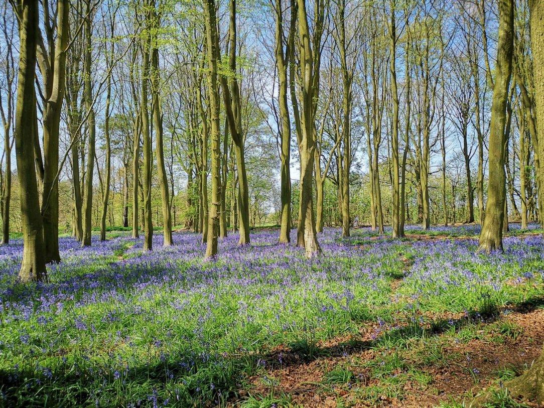 Niebieskie łąki dzwonków