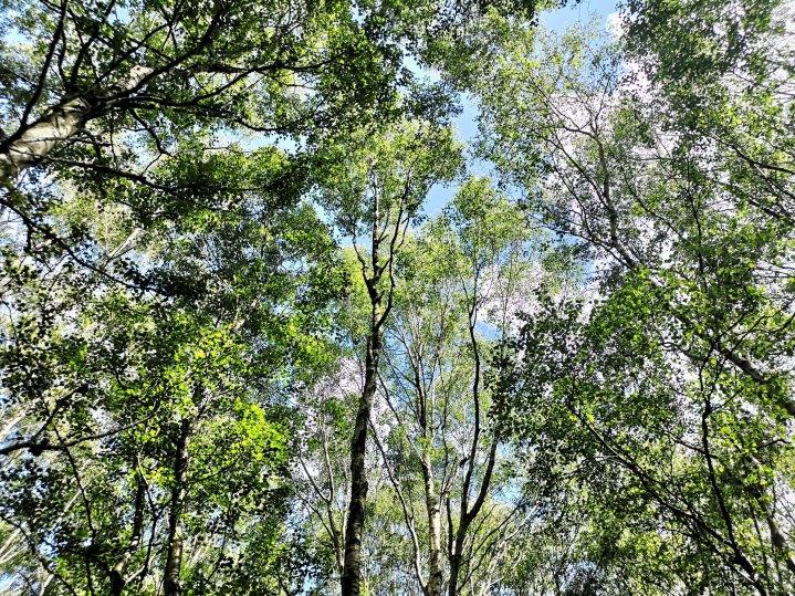 Anderton drzewa