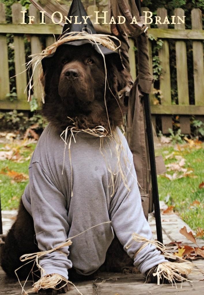 Newfoundland dog dressed as scarecrow for Halloween