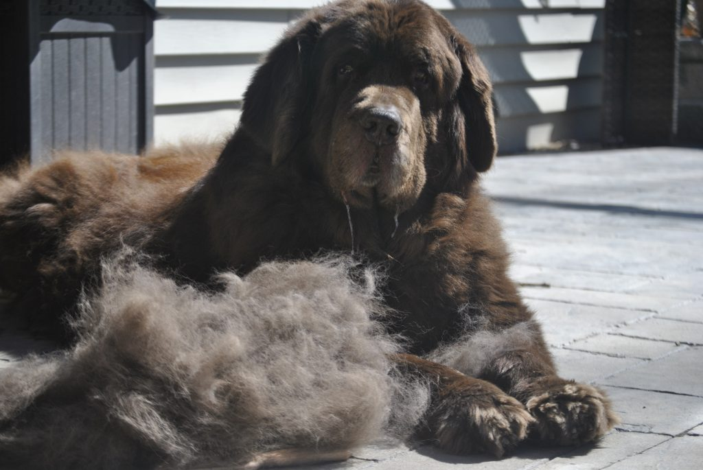 So You Think You Want A Newfoundland. Here's 9 Things You Should Know