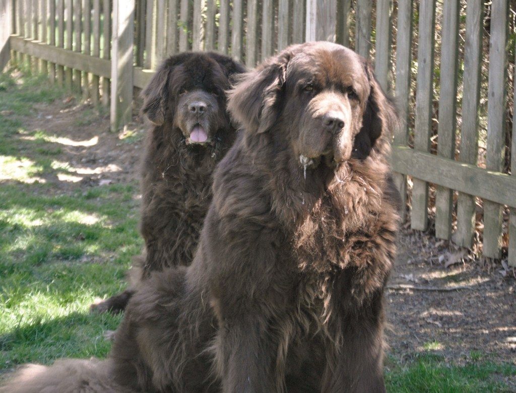 How much does a Newfoundland dog weigh?
