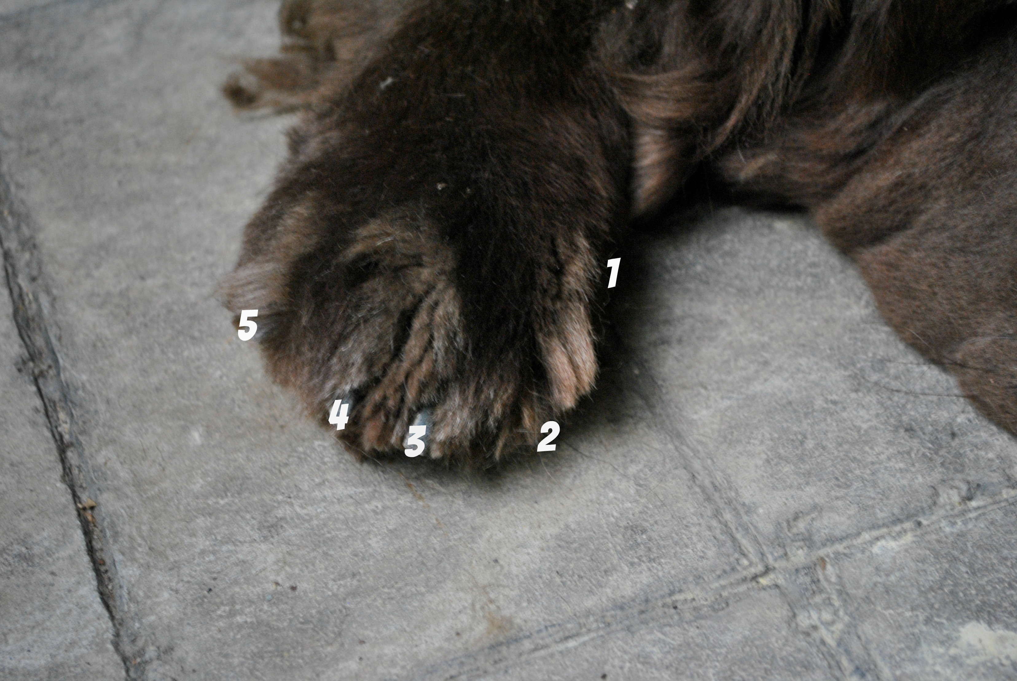 8 Cool Facts About Dog Paws - My Brown Newfies