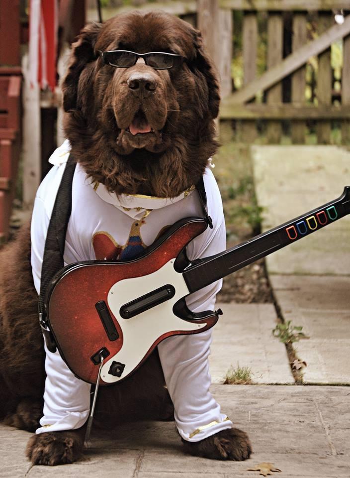 Newfoundland dog dressed up as Elvis for Halloween