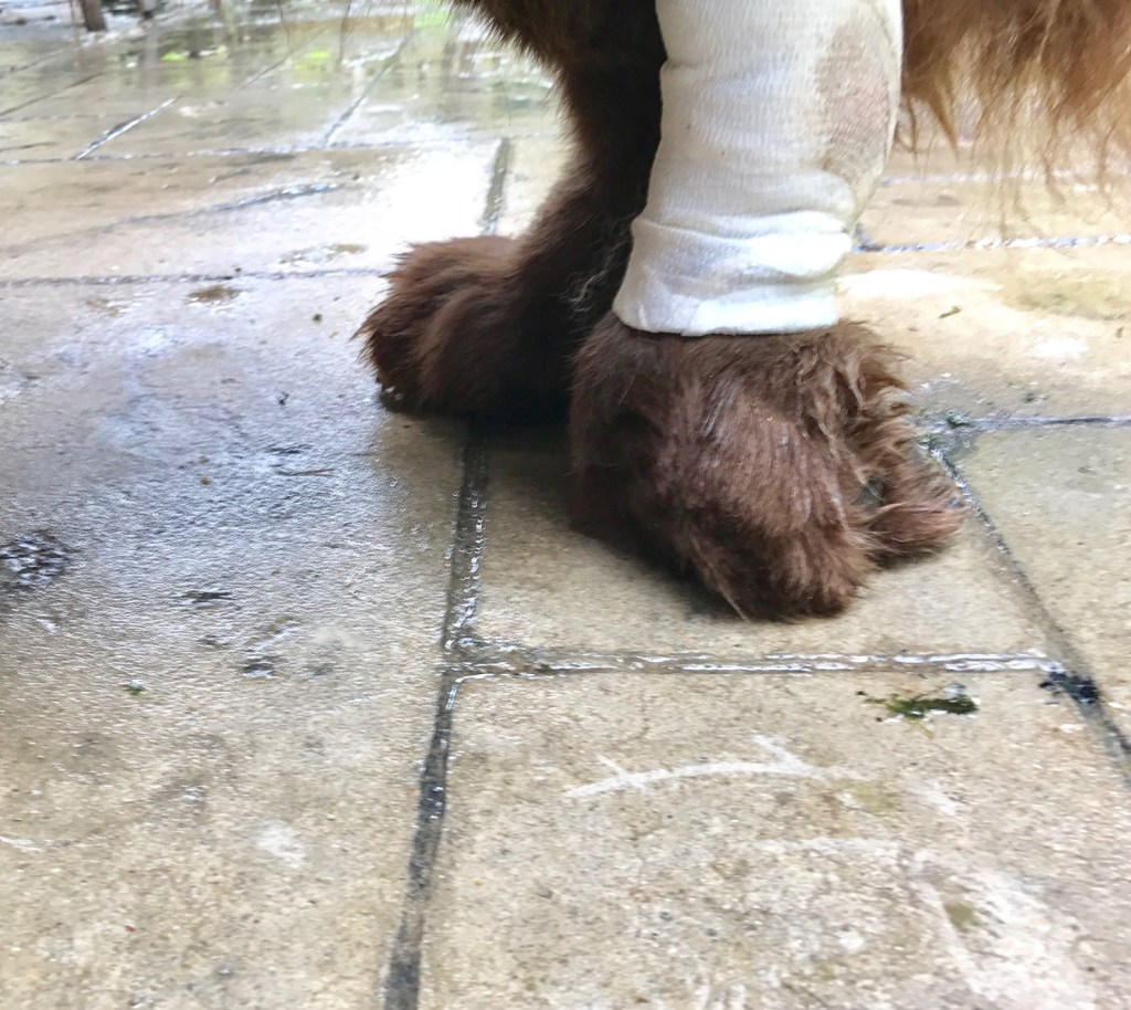 What Is Paw Knuckling In Dogs? (Video) - My Brown Newfies