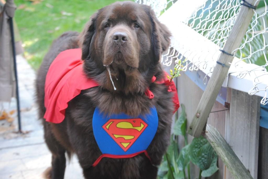 brown dog dressed as super dog