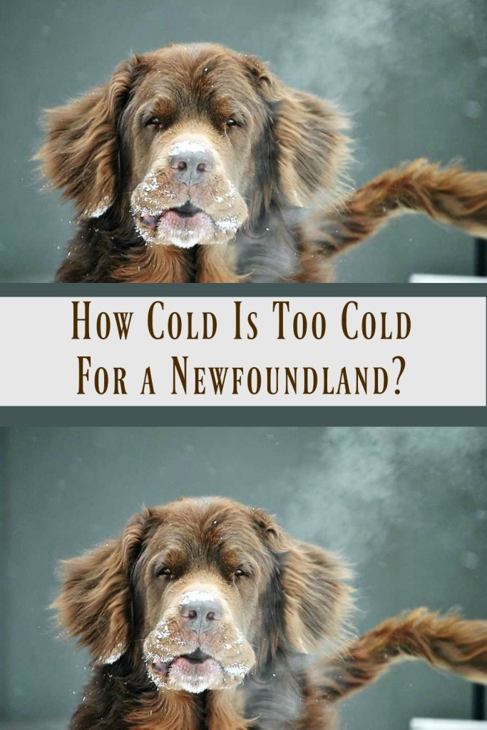 newfoundland dog in the cold