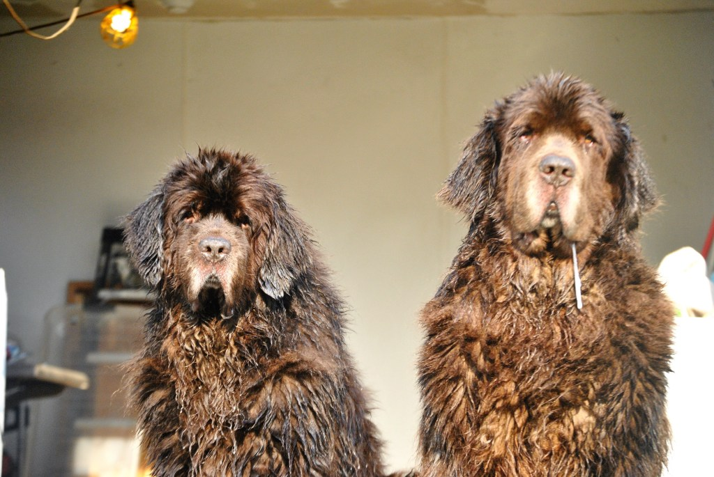 2 wet brown newfoundland dogs