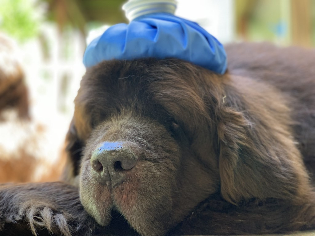 health problems with the newfoundland dog breed