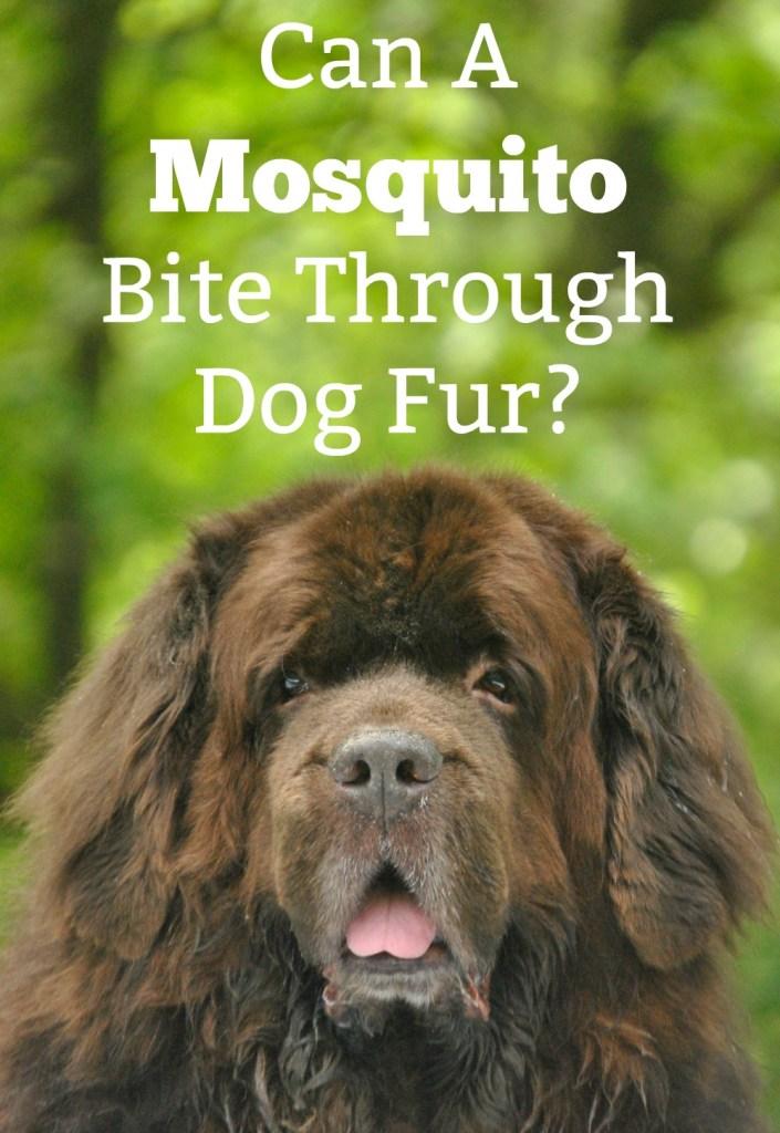 can a mosquito bite through dog fur