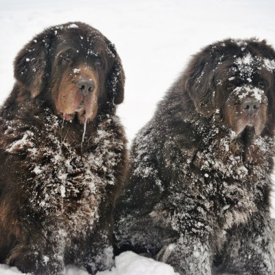 2 brown newfies in snow