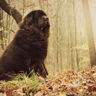 newfoundland dog and epitaph to a dog poem
